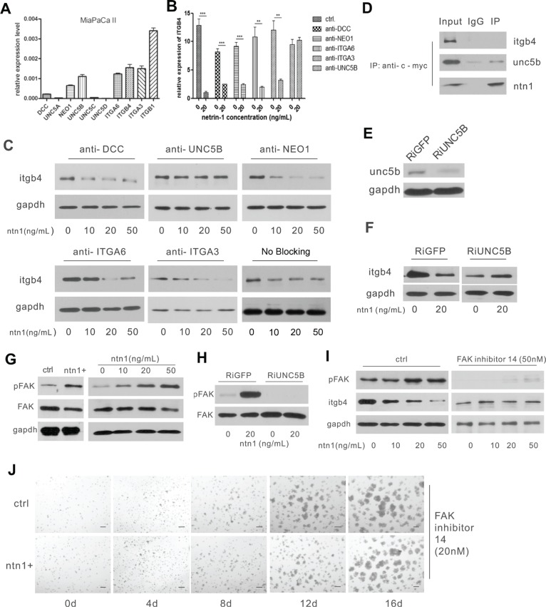 Netrin-1 down-regulates integrin β4 expression through the UNC5b receptor and the activation of FAK ( A ) Real-time PCR analysis for the expression of netrin-1 receptors in MiaPaCa II cells. GAPDH was used as an internal control. ( B – C ) The anti-UNC5b antibody selectively blocks the integrin β4-suppressing effect of netrin-1. The receptors on the MiaPaCa II cells were blocked by their respective antibodies before the cells were treated with the indicated concentrations netrin-1; integrin β4 expression in the cells was then detected by real-time RT-PCR (*** P