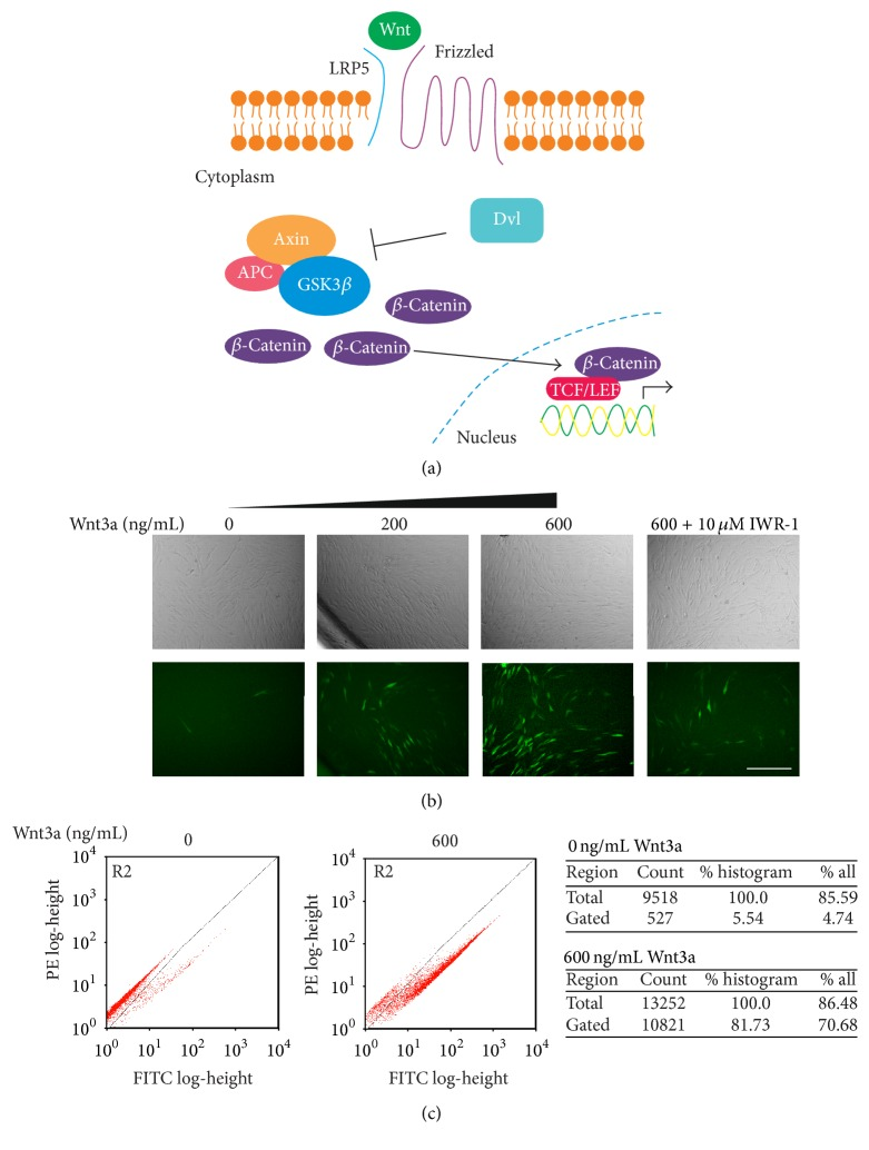 Stimulation using Wnt3a results in observable fluorescence in human Y201 MSC-EGFP reporter lines. (a) Overview of activated canonical Wnt signalling pathway. (b) Fluorescence microscopy of human Y201 MSC-EGFP reporter cells treated with varying concentrations of Wnt3a with or without a Wnt pathway inhibitor, IWR-1. Scale bar = 200 μ m. (c) Flow cytometry scatter plot histograms of Wnt3a-treated Y201 Wnt EGFP reporters versus untreated, after removal of dead cells and debris by gating. Shift in population away from autofluorescence indicates positive EGFP expression (lower right quadrant).