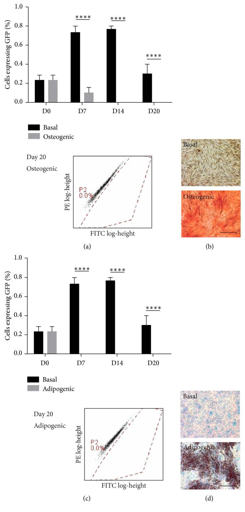 Endogenous Wnt signalling is not activated during 2D MSC differentiation. (a) Percentage of positively expressing human Y201 MSC-EGFP reporter cells during osteogenic differentiation as measured by flow cytometry, ∗∗∗∗ p