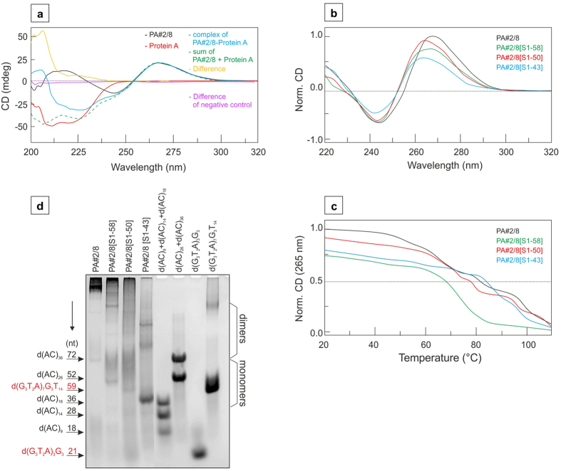 CD spectra of Protein A-binding aptamer variants and electrophoretic results. (a) The representative CD spectra of DNA aptamer PA#2/8 (350 nM), native Protein A (230 μg/mL) and aptamer-protein-complex (PA#2/8-Protein A) are represented by black, red and blue line, respectively. The arithmetic sum of PA#2/8 and Protein A is represented by a dashed green line. The difference spectrum between complex and arithmetic sum is represented by a yellow line. The aptamer variant PA#2/8[S28-50] truncated at both ends was used as negative control. In this case, the difference between arithmetic sum and complex shows no detectable signal (purple line). (b) CD spectra of different Protein A-binding aptamer variants in modified 25 mM Britton-Robinson buffer (pH 7.6) in the presence of 100 mM NaCl, 10 mM MgCl 2 , 1 mM CaCl 2 and 5 mM KCl were compared (PA#2/8, black line; PA#2/8[S1-58], green line; PA#2/8[S1-50], red line and PA#2/8[S1-43], blue line). The aptamers were used at a concentration of 350 nM. (c) The corresponding CD melting curves obtained at 265 nm are depicted. (d) Separation of different aptamer variants by native gel electrophoresis and visualisation by StainsAll staining. The mobilities of molecular standards (mix of d(AC) 9 + d(AC) 14 + d(AC) 18 , mix of d(AC) 26 + d(AC) 36 , d(G 3 T 2 A) 3 G 3 ) and d(G 3 T 2 A) 7 G 3 T 14 ) are shown on the gel at the right. The positions of the standards are additionally indicated as arrows on the left including their sizes in nt. G-quadruplex forming standards are highlighted in red. Electrophoretic separation was performed in a 10% polyacrylamide gel in 25 mM Britton-Robinson buffer (pH 7.6) and 100 mM NaCl, 10 mM MgCl 2 and 5 mM KCl at 37 °C. The loading buffer also contained 1 mM CaCl 2 and 0.005% Tween 20.