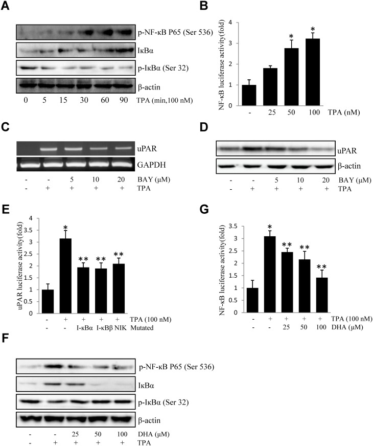 DHA inhibits TPA-induced uPAR by suppressing the DNA-binding activities of NF-кB p65 in ECV304 cells. (A) Cells were treated with TPA for 0–90 min, and the cellular extracts were blotted using specific antibodies. (B) Cells were transiently transfected with the pNF-кB luciferase reporter construct. The transfected cells were incubated with TPA for 4 h and the luciferase activities were determined using a luminometer. (C) Cells were treated with 0–10 μM BAY11-7082 for 1 h prior to exposure to 100 nM TPA for 4 h. After incubation, the uPAR mRNA levels in the cell lysates were determined by RT-PCR. (D) Cells were treated with 0–10 μM BAY11-7082 for 1 h prior to exposure to 100 nM TPA for 16 h. After incubation, the uPAR protein levels were determined by western blotting. (E) The dominant negative mutant of I-κBα, I-κBβ, and NIK were co-transfected with pGL3-uPAR into cells. After incubation with 100 nM TPA for 4 h, the luciferase activities were determined using a luminometer. (F) Cells were treated with DHA (25, 50, 100 μM) prior exposure to 100 nM TPA, and the expressions of phos-p65 (Ser 536), phos-IкB-α (Ser 32), and IкB-α were analyzed by western blotting. (G) Cells were transiently transfected with the pNF-кB luciferase reporter construct, after being pretreated with DHA (25, 50, 100 μM), and then were incubated with 100 nM TPA for 4 h. After incubation, the cells were lysed and luciferase activity was determined. * P