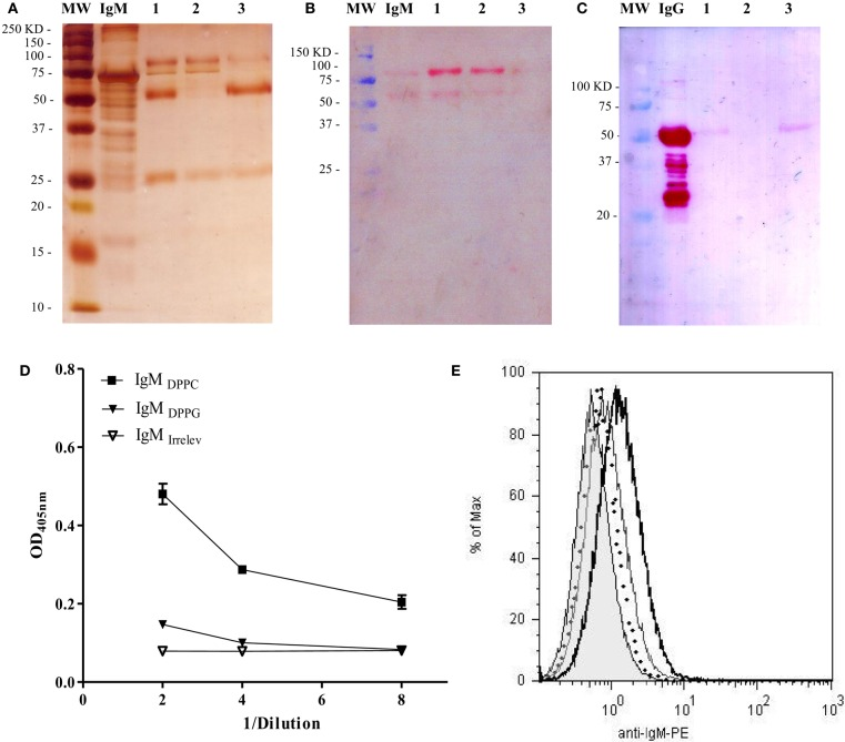 Analysis of purity and DPPC-reactivity of <t>IgM</t> purified from anti-phosphocholine antibodies-containing sera . The IgM fraction purified from sera of BALB/c mice immunized with empty Lp DPPC was analyzed by SDS-PAGE and Western blot. (A) Silver-stained SDS-PAGE in 12% acrylamide under reducing conditions. The presence of (B) IgM and (C) <t>IgG</t> in each sample was determined by Western blot using alkaline phosphatase-conjugated goat anti-mouse IgM (μ-chain-specific) and anti-mouse IgG (whole molecule) antibodies, respectively. MW: molecular weight markers; IgM/IgG: standards. 1: eluted fraction from the IgM affinity chromatography applied into the protein G chromatography; 2: unbound fraction; and 3: eluted fraction. Recognition of DPPC by IgM from sera of animals immunized with Lp DPPC (IgM DPPC ) or Lp DPPG (IgM DPPG ), and by an irrelevant IgM (IgM irrelev ) was assessed by (D) ELISA and (E) flow cytometry. In (E) , representative histograms of Lp DPPC/OVA opsonized with IgM DPPC (black line), IgM DPPG (gray line), IgM irrelev (dotted line), and Lp DPPC/OVA alone (filled) are shown.