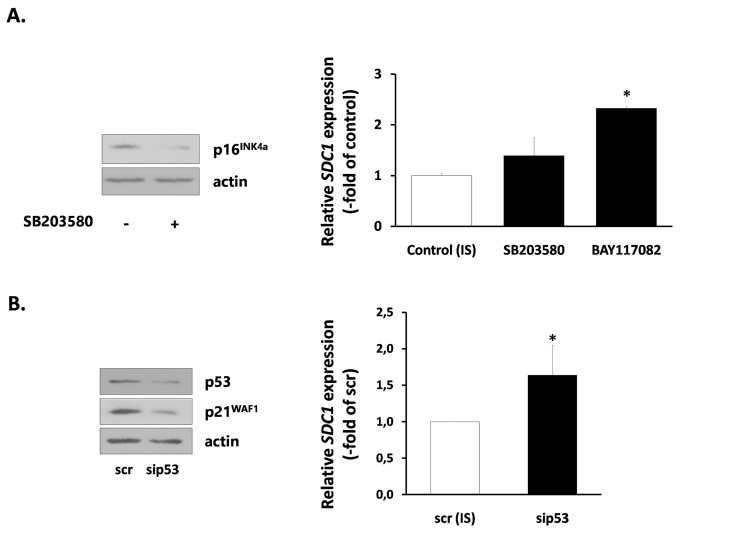 Signaling pathways implicated in SDC1 expression by senescent human breast stromal fibroblasts ( A ) Ionizing radiation-mediated senescent human breast fibroblasts (IS) were treated with the p38 MAPK inhibitor SB203580 or the NF-κB inhibitor <t>BAY117082</t> (10 μM) and 24 h later SDC1 expression was assessed by real-time PCR. ( B ) p53 expression was silenced in IS cells by siRNA, as indicated in the Materials and Methods and SDC1 expression was estimated as in A . One representative experiment out of three similar ones is depicted in each case (* indicates p