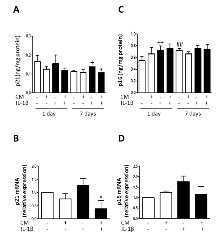 Effect of CM on <t>p21</t> and p16 ( A ) Protein levels of p21 were assessed by ELISA. OA chondrocytes were incubated with IL-1β and/or CM for the indicated times. ( B ) p21 mRNA expression was determined by quantitative real-time PCR. OA chondrocytes were incubated with IL-1β and/or CM for 24 hours. ( C ) Protein levels of p16 were assessed by ELISA. OA chondrocytes were incubated with IL-1β and/or CM for the indicated times. ( D ) p16 mRNA expression was determined by quantitative real-time PCR. OA chondrocytes were incubated with IL-1β and/or CM for 24 hours. Data are shown as mean±standard deviation of N=8 separate experiments with cells from separate donors. +p
