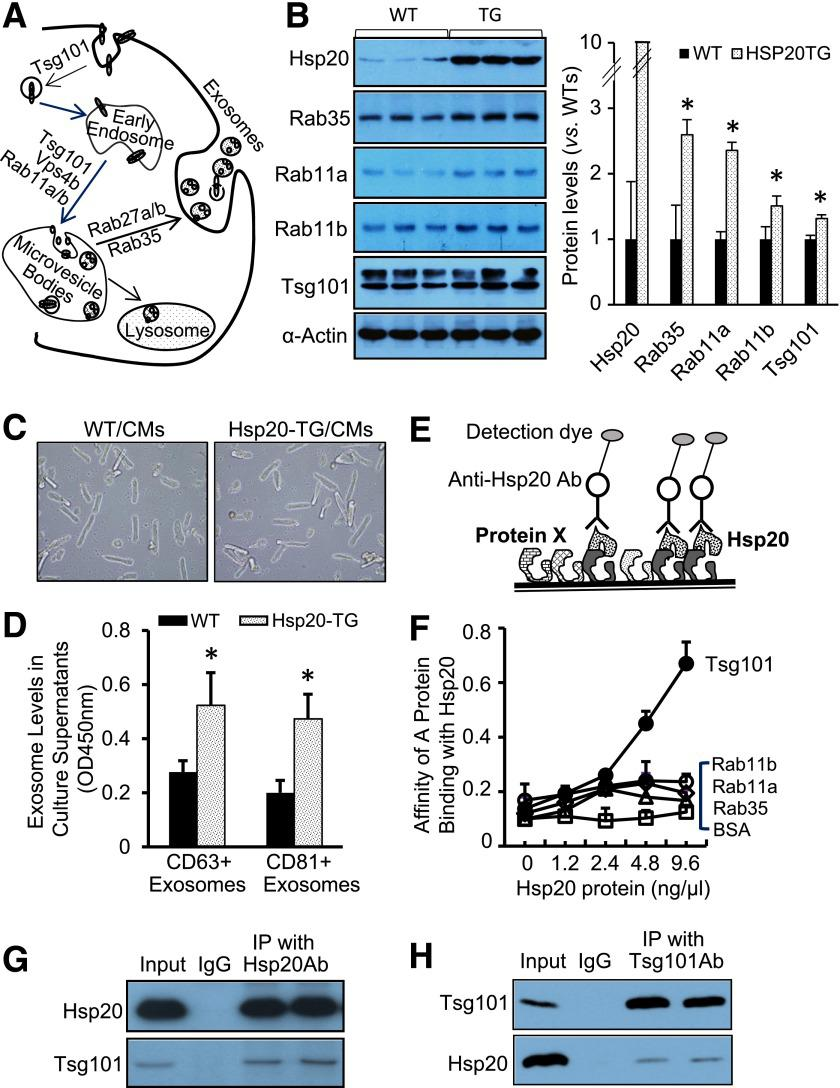 Hsp20 promotes exosome biogenesis via interacting with Tsg101. A : Diagram of exosome biogenesis/release pathway. B : Overexpression of Hsp20 in the heart increased the expression levels of major mediators involved in exosome generation ( n = 3). * P