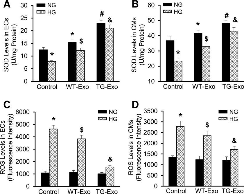 Hsp20 exosomes suppress HG-induced oxidative stress in endothelial cells and cardiomyocytes. The amount of SOD1 was increased in exosome-treated endothelial cells ( A ) and cardiomyocytes ( B ) under normal conditions. HG-induced decrease in the amount of SOD1 was improved to a greater degree in TG-Exo–treated cells than WT-Exo–treated samples ( A and B ). By contrast, HG-triggered increase of ROS levels was attenuated to a greater degree in TG-Exo–treated endothelial cells ( C )/cardiomyocytes ( D ) than WT-Exo–treated samples ( C and D ) ( n = 3 wells). * P