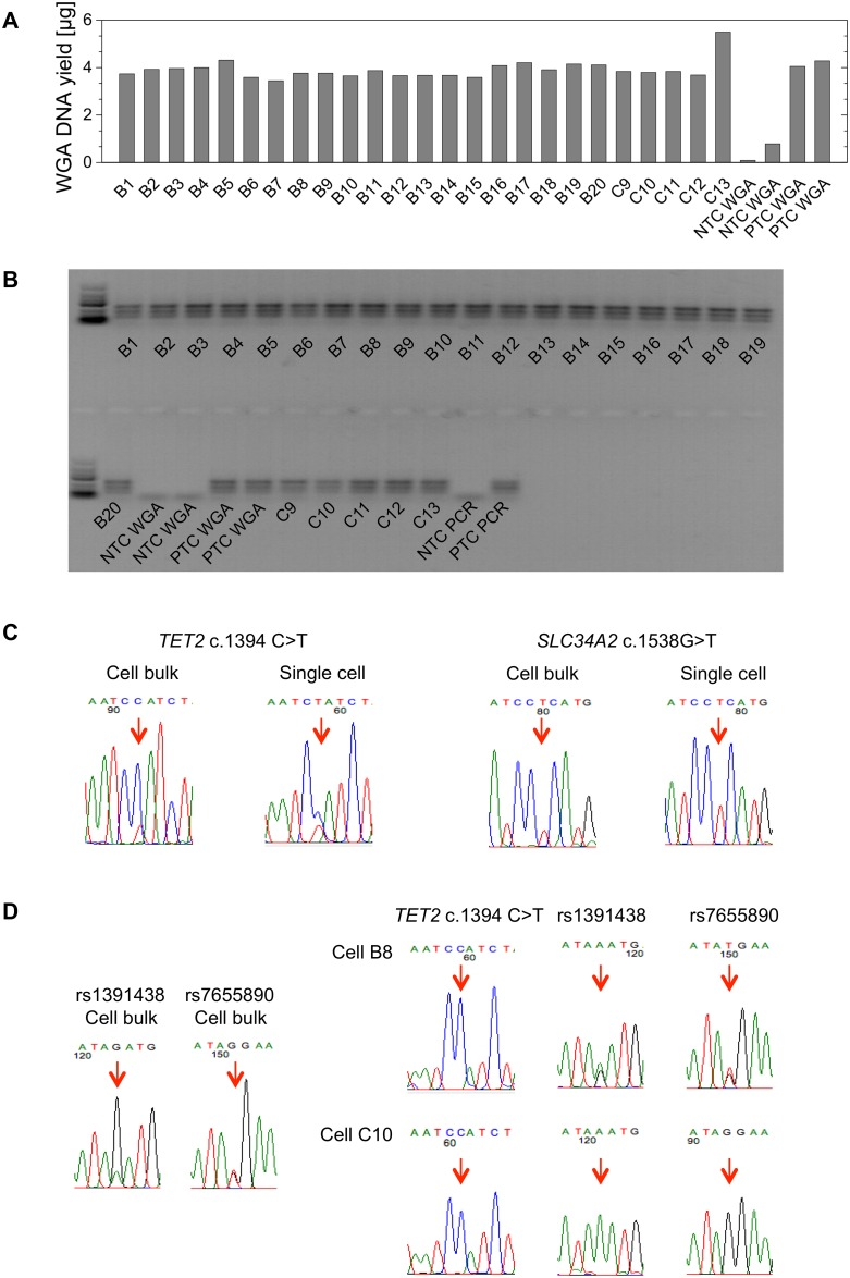 Single-cell whole genome amplification and sequencing of the U-2 OS cell line. (A) Bar diagram displaying the WGA <t>DNA</t> yields from the individual U-2 OS cells and the respective controls, as measured by <t>Qubit</t> ™ . (B) Agarose gel illustrating the differently sized products of the LINE1 multiplex PCR that was performed on the WGA DNA of the individual U-2 OS cells. (C) Exemplary sequencing chromatograms of the SLC34A2 and TET2 gene mutations in the cell bulk and individual cells. (D) Conclusions on the occurrence of allelic dropout (ADO) through sequencing of single nucleotide polymorphisms (SNPs). SNPs rs1391438 and rs7655890 are located in close genomic proximity to the TET2 mutation and show heterozygous patterns in the cell bulk (left). In the single U-2 OS cells B8 and C10, wild-type only is detected at the TET2 mutation site. The heterozygous patterns of the SNPs in B8 suggest true wild-type in TET2 , while the detection of only one allele of both SNPs in C10 suggest loss of the genomic region due to ADO. NTC: no-template control, PTC: positive control.