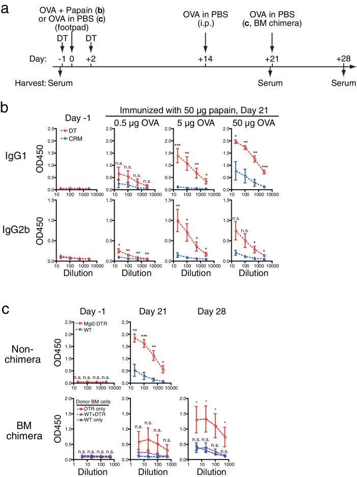 Depletion of CD301b + DCs leads to enhanced antibody responses to the antigen immunized with weak or no adjuvant. ( a ) Immunization and sample collection timeline. ( b ) Mgl2-DTR mice were treated with 0.5 µg DT or its inactive mutant CRM197 (CRM) on days -1 and +2 and immunized on day 0 with 50 µg papain plus indicated amount of OVA in the footpad. All mice received i.p. injection of 10 µg OVA without adjuvant on day 14 and sera were harvested on day 21 for OVA-specific antibody ELISA. ( c ) WT and Mgl2-DTR mice were treated with 0.5 µg DT on days −1 and +2 and immunized in the footpad with 5 µg OVA without any adjuvant on day 0 (top). Alternatively, lethally-irradiated WT mice were reconstituted with Mgl2-DTR (DTR only), WT (WT only) or 1:1-mixture of WT and Mgl2-DTR (WT+DTR) BM cells, then immunized with 5 µg OVA without adjuvant (bottom). All mice received i.p. injection of 10 µg OVA without adjuvant on day 14 and day 21, and sera were harvested on day 21 and day 28 for OVA-specific <t>IgG1</t> ELISA. Bars indicate mean ± S.E.M. calculated from 4–11 individual mice. n.s., not significant, *p