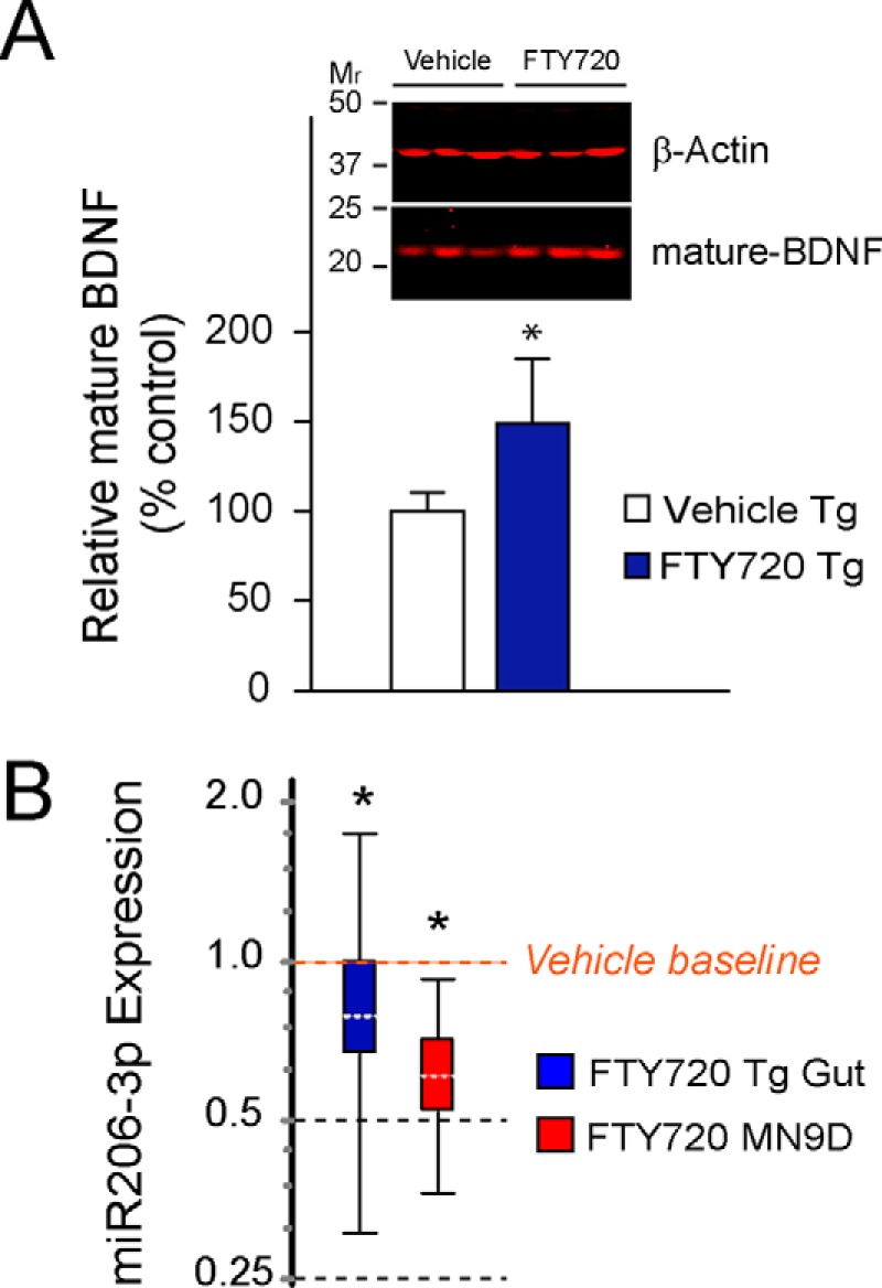 FTY720 stimulates long term increases in BDNF protein in aging Tg mice in association with significantly lower levels of miR206–3p. A , BDNF protein normalized to β-actin on immunoblots confirmed that BDNF was increased in colons of FTY720-treated 21-month-old mice. B , the expression of the regulatory microRNA, miR206–3p, was significantly lower in response to FTY720 treatment of aged Tg mice as compared with vehicle Tg mice. The decrease in miR206–3p was further validated in a control experiment with dopaminergic MN9D cells treated with 160 n m FTY720 for 24 h. ( n = 8 mice/treatment group); *, p