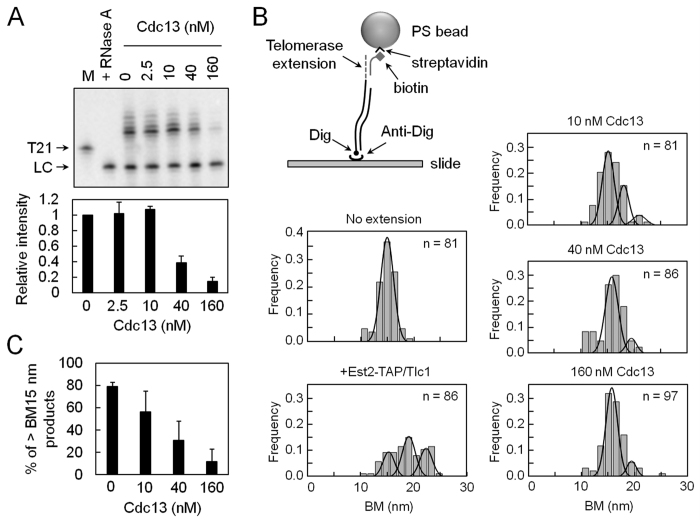 Single-molecule TPM experiments for telomerase inhibition by Cdc13. ( A ) Effect of Cdc13 on telomerase activity of Est2-TAP/Tlc1 RNP. Thirty nM of T21/C20 DNA was incubated with 2.5, 10, 40, or 160 nM of purified Cdc13 at room temperature for 5 min. Est2-TAP/Tlc1 RNP was then added to the reaction mixtures and the telomerase activity was analyzed by primer extension assay. An image of the gel taken by PhosphorImager (top) and the quantification of telomease activity (bottom) are presented. M shows the position of primer T21 DNA as a size maker. In RNase lane, the Est2-TAP/Tlc1 RNP was pretreated with RNase A at 30 °C for 10 min. ( B ) Single-molecule TPM method for monitoring telomerase activity inhibited by Cdc13. Digoxigenin (Dig)-labeled DNA substrates were incubated with 4 nM Est2-TAP/Tlc1 RNP at 30 °C. The reaction products were stopped by Proteinase K and RNase H and then immobilized in glass surface by anti-digoxigenin (anti-Dig) antibody. The extended DNA were then annealed with biotin-labeled oligonucleotide probes and then with streptavidin-coated polystyrene beads for TPM analysis. BM histograms of DNA substrates without telomerase incubation, extended by Est2-TAP/Tlc1 RNP, and incubated with 10, 40, or 160 nM Cdc13 are presented. ( C ) The percentage of BM peaks with values exceeding 15 nm decreases with increasing Cdc13 concentration.