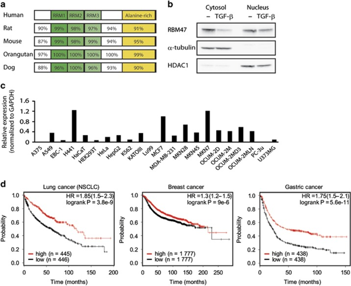 Reduced expression of RBM47 is associated with poor outcomes for lung, breast and gastric cancer patients. ( a ) A scheme of RBM47 protein with interspecies amino acid conservation. RRM1–3, RNA recognition motifs 1–3. ( b ) The subcellular localization of endogenous RBM47 protein after treatment of H441 cells with 2.5 ng/ml TGF-β for 24 h was determined by immunoblotting. ( c ) The levels of RBM47 expression in a panel of 22 cell lines were examined using qRT–PCR and normalized with respect to GAPDH expression. ( d ) Survival rates based on RBM47 expression were analyzed by Kaplan–Meier survival method in lung (overall survival), breast (relapse-free survival) and gastric cancer (overall survival) patients. The half of patients with higher expression of RBM47 mRNA is indicated in red and that with lower expression is indicated in black. A log-rank test was used to compare the variance between the two groups.