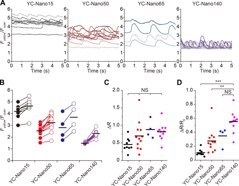 Time course of FRET signals of various α-actinin–YC-Nanos. (A) Time course of changes in F yellow / F cyan during spontaneous beating in myocytes expressing α-actinin–YC-Nano15, α-actinin–YC-Nano50, α-actinin–YC-Nano65, or α-actinin–YC-Nano140 in the Z disks. n = 4–12 cells. For strong possible fluorescence signal recordings, measurements were performed in 2.0 mM Ca 2+ <t>-HEPES–Tyrode's</t> solution at 37°C. See Video 2. (B) Maximal ( R max ) and minimal ( R 0 ) FRET signals for α-actinin–YC-Nano15, α-actinin–YC-Nano50, α-actinin–YC-Nano65, and α-actinin–YC-Nano140 expressed in the Z disks of myocytes during spontaneous beating (data obtained for 5 s as in A). Closed symbols, R 0 ; open symbols, R max . (C) Values of Δ R (i.e., R max − R 0 ) for α-actinin–YC-Nanos. Data obtained from A and B. No significant differences were observed between groups (Tukey-Kramer test). (D) Values of the ratio of Δ R to R 0 (i.e., Δ R / R 0 ) for α-actinin–YC-Nanos. **, P