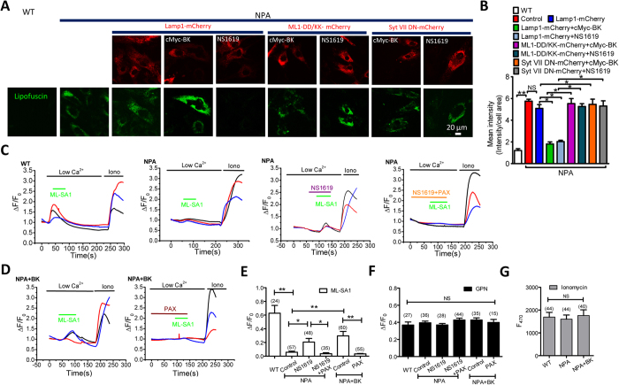 BK upregulation reduces lipofuscin accumulation in NPA cells by promoting TRPML1-mediated Ca 2+ release. ( A,B ) Abnormal lipofuscin accumulation in NPA human fibroblasts and its rescue by BK overexpression or NS1619 (15 μM, 16 h) treatment. Expression of TRPML1-DD/KK or Syt VII DN reversed the rescue effect of BK upregulation. More than 35 cells were analyzed for each condition. ( C–E ) Impaired ML-SA1 (10 μM)-mediated GECO-TRPML1 response in NPA human fibroblasts and its rescue by NS1619 (15 μM, ~60 s) pretreatment ( C ) or BK overexpression ( D ). Paxilline (PAX, 3 μM) treatment reversed the rescue effect of NS1619 or BK overexpression. ( F,G ) GECO-TRPML1 responses to GPN (200 μM) (F) and Ionomycin (1 μM) ( G ) were not altered in all the treatments, suggesting lysosomal Ca 2+ content, or GECO-TRPML1 expression level was not affected.