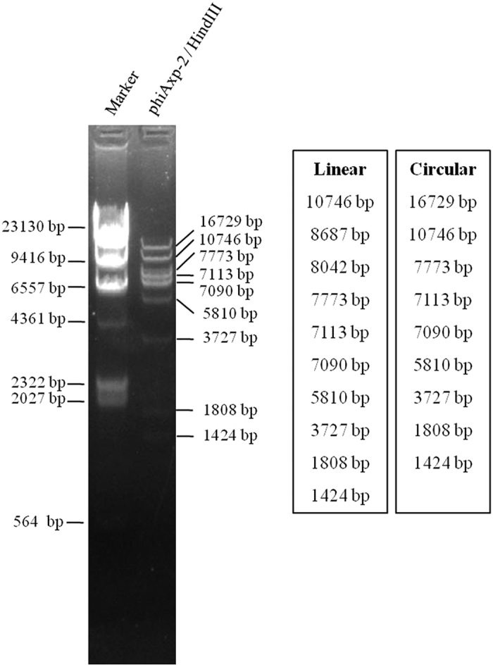 Restriction fragment length polymorphism analysis of phiAxp-2 DNA. Genomic DNA from phage phiAxp-2 was digested with the enzymes indicated ( HindIII ) and run on an agarose gel (0.7%). The length of fragments generated by digestion of the linear genome or the circular genome was showed on the right side of the electrophoresis map.