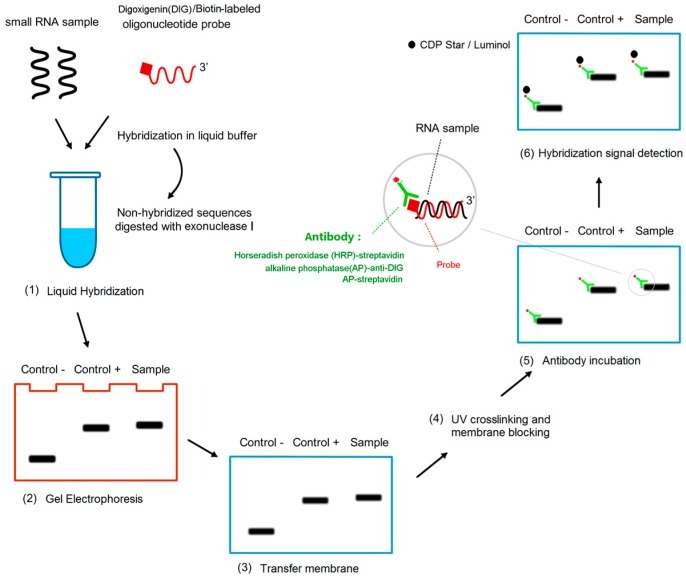 Schematic diagram of procedures of liquid hybridization and solid phase detection (LHSPD). ( 1 ) Liquid hybridization: The small RNA samples, hybridization buffer, and probe are mixed in a tube to make the probe hybridize with the specific RNA sequences and the non-hybridized sequences are digested by exonuclease I; ( 2 ) Gel electrophoresis: the products of the hybridization are separated by electrophoresis; ( 3 ) Transfer membrane; ( 4 ) UV crosslinking and membrane blocking; ( 5 ) Antibody incubation: alkaline phosphatase (AP)-anti-DIG antibody or AP-streptavidin or horseradish peroxidase (HRP)-streptavidin targeted the RNA-bound DIG-labeled probes or biotin-labeled probes respectively; ( 6 ) Hybridization signal detection: CDP-Star/luminol is used to detect the combination of antibody and target RNA.