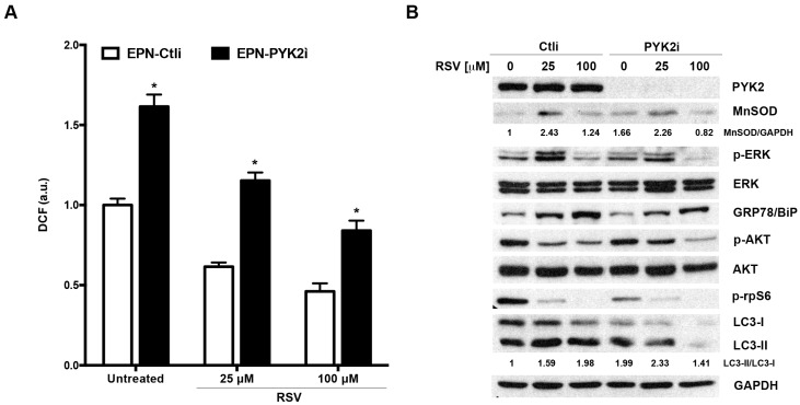 <t>PYK2-depletion</t> reproduces the effects of the PKM mutant in EPN cells: ( A ) Ctli and PYK2i EPN cells were treated for 24 h with RSV (25 and 100 µM), then ROS levels were estimated indirectly by measuring the fluorescence emitted by DCF. Data are mean ± SD of a representative experiment performed in triplicate. (*) indicates statistically significant differences ( p
