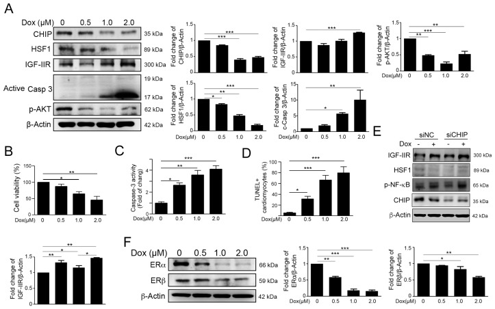 Dox stimulated the insulin-like growth factor II receptor (IGF-IIR) apoptotic pathway and repressed the expression of the estrogen receptors (ERs). ( A ) H9c2 cells are treated with different concentrations of doxorubicin for 24 h; the protein level of CHIP, HSF1, IGF-IIR, active caspase 3, and p-Akt is measured by immunoblotting. Quantification of these results is shown right ( n = 3). * p