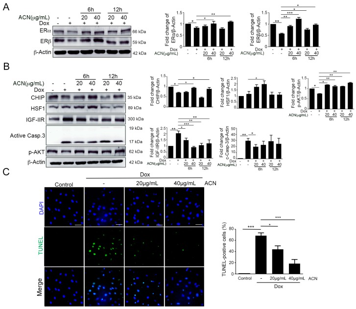 Anthocyanin enhanced ER expression and attenuated the IGF-IIR apoptotic pathway. ( A ) After H9c2 cells are treated with 1 µM doxorubicin for 6 and 12 h, they are washed with PBS, and then, fresh medium is added, followed by post-treatment with anthocyanin 20 and 40 µg/mL and incubation of cells for 24 h after doxorubicin treatment. The ERα and ERβ protein levels were measured. Quantification of these results is shown right ( n = 3). * p