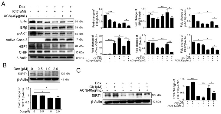 The effects of anthocyanin treatment were attenuated by the estrogen receptor antagonist ICI 182,780. ( A ) H9c2 cells were pre-treated with 1 µM ICI 182,780 for 1 h, followed by treatment with doxorubicin at 1 µM and incubation for 6 h. Then, the medium was changed to fresh medium, anthocyanin at 40 µg/mL was added, and the cells were incubated for 18 h before measurement by immunoblotting. Quantification of these results is shown right ( n = 3). * p