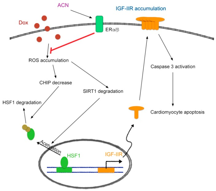 Schematic diagram of how ACN attenuates doxorubicin-induced cardiomyotoxicity through ERα/β to up-regulate CHIP-mediated HSF1 nuclear translocation and SIRT1-mediated HSF1 activation to inhibit the IGF-IIR apoptotic pathway.