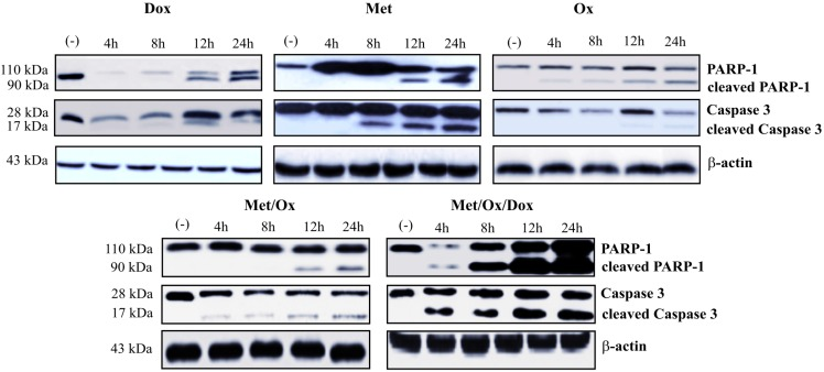 Metformin - Sodium Oxamate - Doxorubicin increased apoptosis cell death. It is shown a significant increment in the detection of caspase 3 and PARP-1 after exposure to the three drugs in combination. Met: Metformin; Ox: Sodium Oxamate; Dox: Doxorubicin.