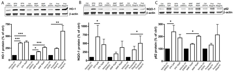 Nrf2-activators dose-dependently increase antioxidant protein expression in OLN-93 cells. HO-1 ( A ), NQO-1 ( B ) and p62 ( C ) protein expression levels after 24 h treatment in the OLN-93 oligodendrocyte cell line with 5 µM or 10 µM SFN, 45 µM or 90 µM MMF, 30 µg/mL or 60 µg/mL Protandim or their respective DMSO or EtOH vehicle control. Protein levels were assayed by Western blotting. Data are presented as percentage of control and expressed as the mean ± SEM of 3 independent experiments. All statistics reflect one-way ANOVA tests with post hoc Bonferroni correction; * p