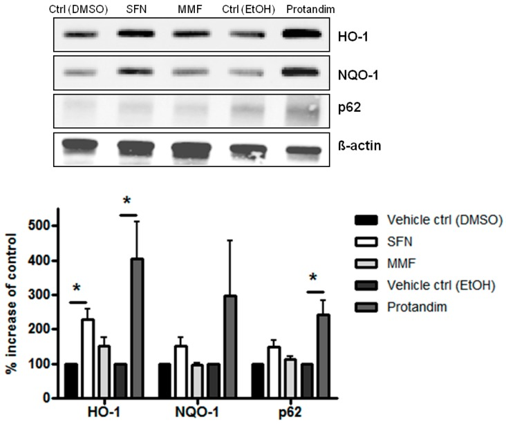 Nrf2-activators dose-dependently increase antioxidant protein expression in mature primary rat OLs. HO-1, NQO-1 and p62 protein expression levels after 24 h treatment in mature primary rat OLs, differentiated for 7 days, with 5 µM SFN, 90 µM MMF,30 µg/mL Protandim or their respective DMSO or EtOH vehicle control. Protein levels were assayed by Western blotting. Data are presented as percentage of control and expressed as the mean ± SEM of 3 independent experiments. Statistics reflect one-way ANOVA test with post hoc Bonferroni correction; * p