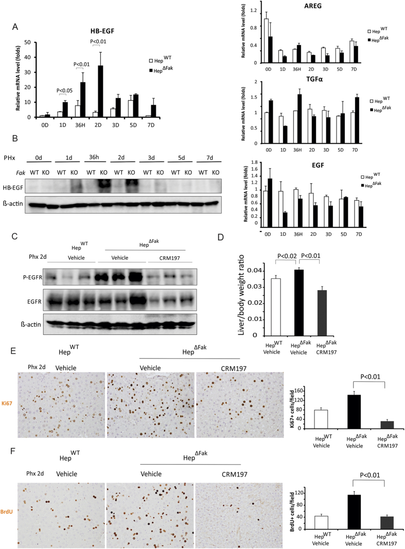 Fak deficiency increases EGFR activation and proliferation of hepatocytes after PHx by increasing expression of HB-EGF. (A) HB-EGF , TGFα , EGF and AREG mRNA expression levels in whole livers of Hep WT and Hep ∆Fak mice 0, 1, 1.5, 2, 3, 5 and 7 days after PHx (n = 6). (B) HB-EGF protein expression levels in whole livers of Hep WT and Hep ∆Fak mice (pooled samples from 3 mice) 0, 1, 1.5, 2, 3, 5 and 7 days after PHx (n = 6). (C) Expression of p-EGFR, EGFR and β-actin proteins in whole livers of Hep WT and Hep ∆Fak mice treated with either vehicle or CRM197 by oral gavage daily for 3 days starting one day before PHx. (D) Liver weight/body weight ratios were analyzed in Hep WT and Hep ∆Fak mice treated with either vehicle or CRM197 by oral gavage daily for 3 days starting one day before PHx (n = 6). ( E) Representative photomicrographs and quantification of immunohistochemistry for Ki67 in the livers of Hep WT and Hep ∆Fak mice (n = 6) for (D) . (F) Representative photomicrographs and quantification of immunohistochemistry for BrdU in the livers of Hep WT and Hep ∆Fak mice (n = 6) for (D) .