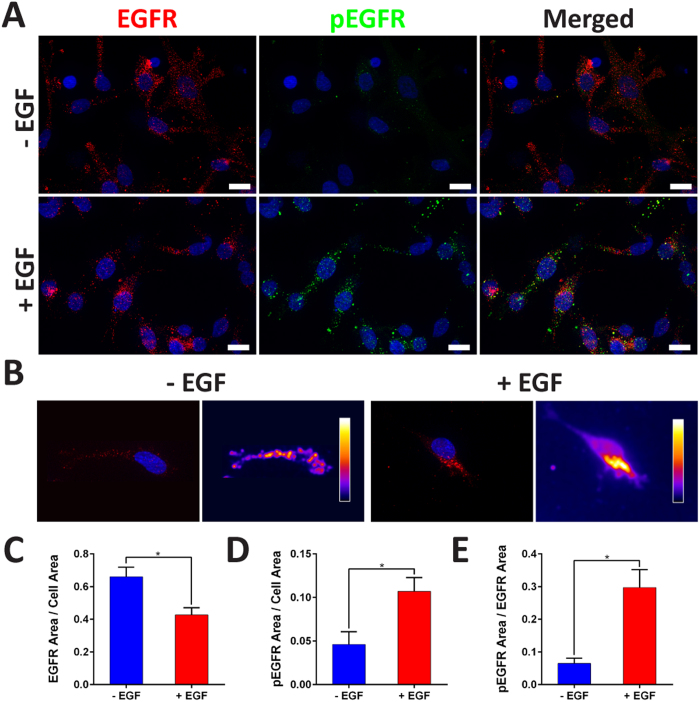 Investigation of EGFR and pEGFR. ( A ) Cells were stained for EGFR (red), pEGFR (green), and nuclei (blue) (scale bar: 20 μm). ( B ) Representative images of EGFR clusters with corresponding heat maps of relative intensities. ( C ) (+) EGF demonstrated significantly lower EGFR to cell area ratio. ( D , E ) (+) EGF displayed significantly higher pEGFR to cell area ratio and pEGFR to EGFR area ratio ( p