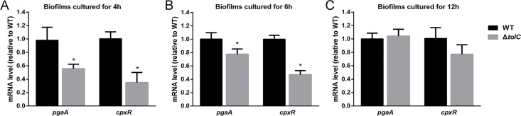 Relative expression of pgaA and cpxR in biofilms of Δ tolC versus WT. The mRNA levels of pgaA and cpxR genes in biofilms at 4h (A), 6h (B) and 12h (C) were determined by qRT-PCR. Data presented are means of three independent experiments with triplicates. Error bars indicate SDs. Results with statistical significant are marked with asterisks (P