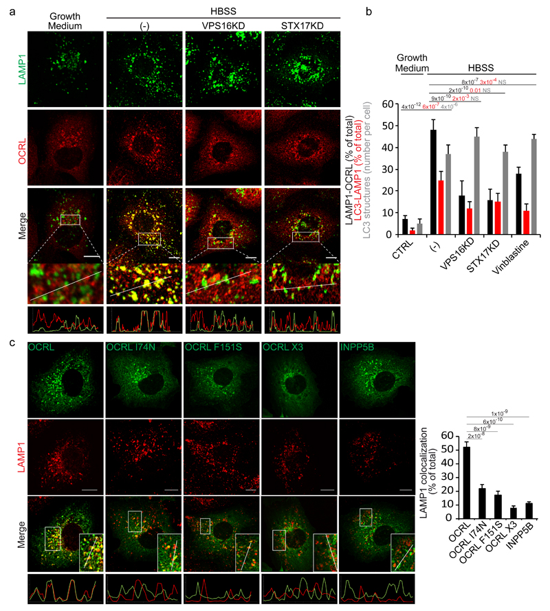 Autophagosome-lysosome fusion induces an AP2 and clathrin-dependent recruitment of OCRL to lysosomes. ( a ) Fusion of autophagosomes with lysosomes recruits OCRL to lysosomes. HK-2 cells were incubated in growth medium, or in HBSS for 3 hours (-), or in HBSS for 3 hours after impairment of autophagosome-lysosome fusion by siRNA-mediated KD of the HOPS component VPS16 12 or of the autophagosomal SNARE STX17 14 . Cells were stained for OCRL and LAMP1 (a lysosomal marker). The lower panels are enlargements of the boxed areas and fluorescence intensity profiles in the green and red channels of the regions underneath the white lines. Scale bars, 10 µm. ( b ) Quantification of OCRL association with lysosomes under conditions described in a , or after the addition of vinblastine (20 μM) that also inhibits autophagosome-lysosome fusion 13 . The percentage of LAMP1 structures that are positive for OCRL, the percentage of LC3 structures that are positive for LAMP1 (as a measure of the arrival of autophagosomal cargo to lysosomes), and the average number of LC3 structures per cell are reported. Values are means ± s.d. of n=450 cells pooled from 3 independent experiments. NS (not significant). ( c ) Representative images and quantification of the colocalization of wt OCRL, the AP2 (OCRL-F151S), clathrin(OCRL-I74N) or AP2-clathrin triple (OCRL-X3) binding mutants, and INPP5B with LAMP1. Insets, enlargements of the boxed areas; lower panels, fluorescence intensity profiles in the green and red channels of the regions underneath the white lines. Scale bars, 10 µm. Data represent the percentage of total LAMP1 structures positive for each OCRL form or for INPP5B. Means ± s.d. n=200 cells pooled from 3 independent experiments; n=100 OCRL-X3 transfected cells pooled from 3 independent experiments. p-values calculated by One-way ANOVA with Tukey's post hoc test.
