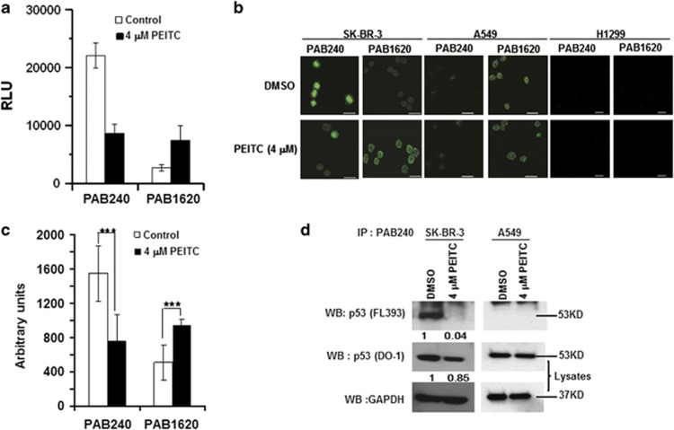 PEITC induces a 'WT-like' conformational change in p53 R175 mutant protein. ( a ) ELISA to determine the effect of PEITC on conformation of recombinant-purified GST-p53 R175H by using conformation-specific antibodies PAB240 (mutant-specific) and PAB1620 (WT-specific). ( b ) SK-BR-3 cells were treated with DMSO or 4 μ M PEITC for 6 h. Immunofluorescence of the cells was performed using PAB240 and PAB1620 antibodies. The A549 cell line used as a control showed that p53 WT conformation was not changed by PEITC. The H1299 cell line was used as a control for anti-p53 antibodies. All scale bars represents a size of 20 μ m. ( c ) Quantification of PAB240 and PAB1620 staining shown in panel ( b ). *** P ≤0.0001 for PAB240 and PAB1620. ( d ) Immunoprecipitation of the p53 mutant protein from SK-BR-3 cell lysates using PAB240 antibody and detected by p53 (FL393) antibody
