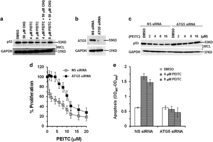 Autophagy of p53 R175 protein upon PEITC treatment in SK-BR-3 cells. ( a ) SK-BR-3 cells were treated with PEITC (4 or 8 μ M), CHQ (50 μ M) or both for 4 h. Cell lysate fractions were resolved by SDS-PAGE and probed with p53 DO-1 antibody. ( b ) SK-BR-3 cells were transfected with ATG5 siRNA or NS siRNA. Thirty μg of the cell lysate was resolved by SDS-PAGE and probed with anti-ATG5 antibody. Blots were stripped and reprobed with anti-GAPDH antibody. ( c ) SK-BR-3 cells transfected with ATG5 siRNA or NS siRNA were treated with DMSO or PEITC for 4 h. Protein levels were determined by western blotting using p53 DO-1 and GAPDH antibodies. ( d ) SK-BR-3 transfected with ATG5 siRNA or NS siRNA were treated with DMSO or PEITC for 3 days. Percentage of cell proliferation was determined by the WST-1 assay. ( e ) Effect of PEITC on apoptosis. ATG5 siRNA- or NS siRNA-transfected SK-BR-3 cells were treated with DMSO or PEITC for 3 days. Cells were assayed for histone-associated DNA fragments indicative of apoptosis