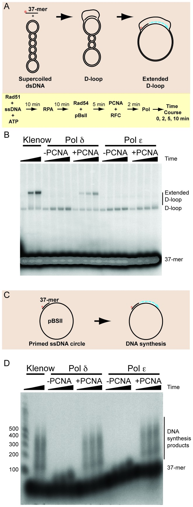 Pol ε poorly extends D-loops in comparison to Pol δ but is proficient to extend primed single-stranded DNA using the same substrates under the same conditions. ( A ) In vitro D-loop reactions using a 37-mer oligonucleotide were reconstituted using purified S. cerevisiae proteins as described in Materials and Methods. ( B ) Product analysis of reconstituted D-loop reactions containing either Klenow polymerase, Pol δ (10 nM) or Pol ε (10 nM) at 0, 2 (not for Klenow), 5 and 10 min extension times. ( C ) Extension of primed single-stranded circular template DNA using a 37-mer oligonucleotide. ( D ) Product analysis of primer extension on denaturing gels of reaction containing Klenow polymerase, Pol δ (10 nM) or Pol ε (10 nM) each plus or minus 10 nM PCNA/RFC at 0, 2 (not for Klenow), 5 and 10 min extension times. A 100 nt size ladder is shown in the left-most lane.