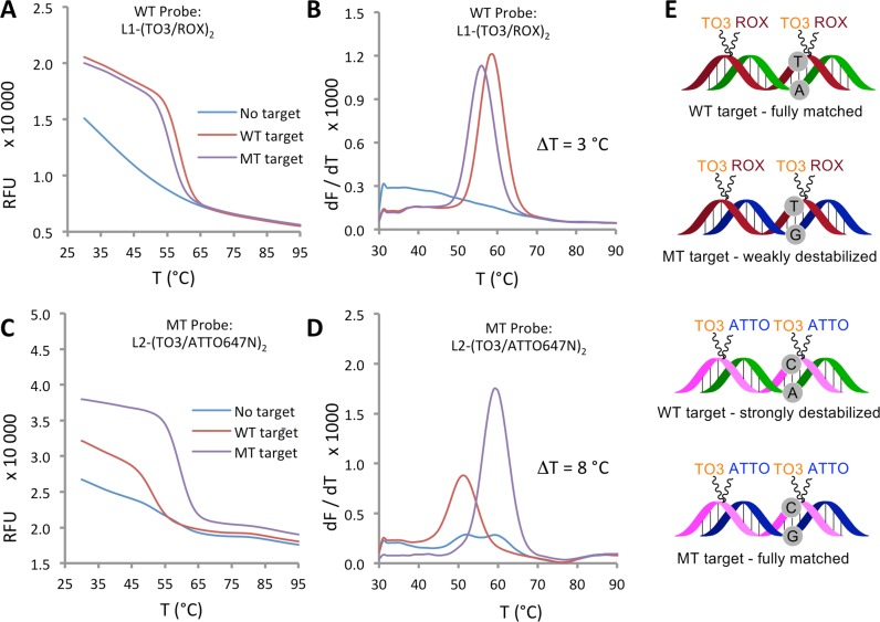 Mutation discrimination by means of base pair mismatches. Fluorescence melting curves ( A and C ) and derivatives ( B and D ) for matched and mismatched duplexes of WT probe L1-(TO3/ROX) 2 and MT probe L2-(TO3/ATTO647N) 2 . Fluorescence was monitored in the 'ROX' channel (for ROX, excitation range 560–590 nm, detection range = 610–650 nm) or 'Cy5' channel (for ATTO647N, excitation range = 620–650 nm, detection range = 675–690 nm) of the CFX96 RT-PCR instrument. KOD XL DNA polymerase buffer (pH 7.5) was used. Δ T compares the mismatched and fully matched DNA duplexes. The probe/target duplexes are shown schematically ( E ) with base pairs at the site of mutation highlighted.