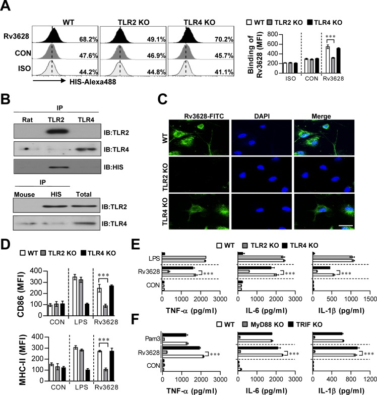 Rv3628 induces DC activation by interacting with TLR2 A. Bone marrow-derived DCs (BMDCs) from WT, TLR2 KO, and TLR4 KO mice were treated with Rv3628 for 1 h and stained with an Alexa488-conjugated anti-His mAb. The MFI of the positive cells is shown in each panel. The bar graphs show the means ± SEM of the percentages of Rv3628-treated Alexa488-positive cells among the CD11c + cells from three independent experiments. *** p
