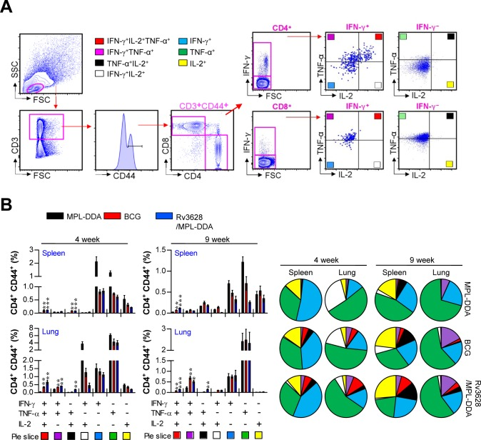 Rv3628/MPL-DDA induces the production of multifunctional CD4 + T cells A. and B. Cytokine production by Rv3628-specific CD4 + T cells in immunized mice ( n = 6 animals/group) was analyzed at 4 and 9 weeks after challenge with Mtb K using flow cytometry. A. The strategy for gating multifunctional CD4 + T cells is shown for a representative mouse immunized with Rv3628/MPL-DDA. B. Spleen and lung cells from immunized mice were stimulated with Rv3628 (5 μg/ml) for 12 h in the presence of GolgiStop. Rv3628-stimulated cells were identified by intracellular cytokine staining based on CD3, CD4 and CD8 expression and were further gated for CD44 + cells. The percentages of cells expressing all three cytokines (IFN-γ, TNF-α, and IL-2), two of these three cytokines, or one of these three cytokines in each group are depicted in the bar graphs (B, left panel) and pie charts (B, right panel). The results of one representative study out of at least two independent studies are presented. * p
