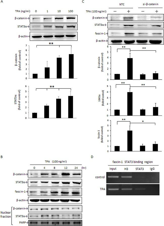 """TPA induces cellular β-catenin and STAT3α protein expression and nuclear translocation and β-catenin siRNA abolishes TPA-induced STAT3α and fascin-1 expression in MCF-7 cells After treatment with various concentrations of TPA for 24 h ( A ) or with 100 ng/ml of TPA for 0–24 h ( B ), cellular β-catenin, STAT3α, and fascin-1 expression as well as nuclear (N) β-catenin and STAT3α expression were determined by Western blotting. ( C ) Cells were transfected with β-catenin siRNA or nontargeting control (NTC) and were then treated with 100 ng/ml of TPA for an additional 24 h. β-catenin, STAT3α, and fascin-1 proteins were determined. ( D ) MCF-7 cells were treated with 100 ng/ml of TPA for 6 h, and cell lysate was prepared for ChIP-PCR assay for STAT3 binding in fascin-1 gene in MCF-7 cells. """"Input"""", total input DNA; """"H3"""", DNA-protein complex pulled down by acetyl Histone H3; """"STAT3"""", DNA-protein complex pulled down by anti-STAT3; and """"IgG"""", DNA-protein complex pulled down by rabbit IgG antibody. H3 served as a positive control for STAT3 binding. Values are mean ± SD, n = 3. * p"""