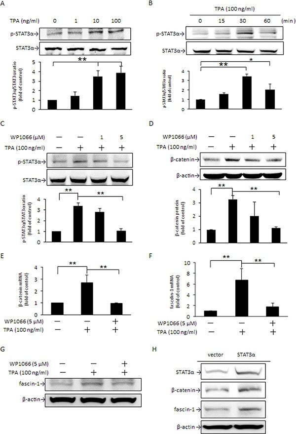 TPA increase in STAT3α phosphorylation up-regulates β-catenin and fascin-1 expression MCF-7 cells were treated with various concentrations of TPA for 30 min ( A ), were treated with 100 ng/ml of TPA for different time periods ( B ), or were pretreated with 1 or 5 μM WP1066 for 4 h followed by incubation with 100 ng/ml of TPA for another 30 min ( C ). STAT3α phosphorylation at Tyr705 was measured. Cells were pretreated with 1 or 5 μM WP1066 for 4 h followed by incubation with 100 ng/ml of TPA for another 24 h. The amounts of cellular β-catenin protein ( D ) were determined. Changes in β-catenin ( E ) and fascin-1 mRNA ( F ) and protein ( G ) were measured in cells pretreated with or without 5 μM WP1066 for 4 h, followed by incubation with TPA for another 18 h and 24 h, respectively. ( H ) Cells were transfected with STAT3 expression vector or pcDNA3.1 ( − ) control vector and were then treated with 100 ng/ml of TPA for an additional 24 h. STAT3α, β-catenin, and fascin-1 proteins were determined. One representative experiment out of three independent experiments is shown. Values are presented as mean ± SD, n = 3. * p