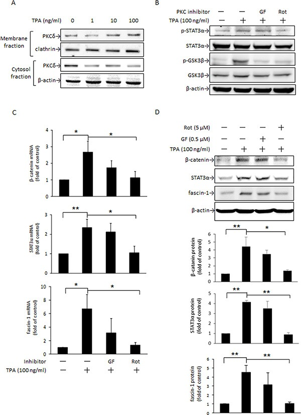 PKC is an upstream mediator of STAT3α and GSK3β phosphorylation induced by TPA MCF-7 cells were treated with various concentrations of TPA for 30 min and PKCδ in the plasma membrane and cytosolic fractions were determined ( A ). Cells were pretreated with or without 0.5 μM nonselective PKC inhibitor GF109203X (GF) or 5 μM PKCδ-specific inhibitor rottlerin (Rot) for 1 h followed by incubation with 100 ng/ml of TPA for another 30 min. STAT3α and GSK3β phosphorylation were measured ( B ). β-Catenin, STAT3α, and fascin-1 mRNA ( C ) and protein ( D ) levels were determined after 18 h and 24 h with TPA treatment, respectively. One representative experiment out of three independent experiments is shown. Mean ± SD, n = 3. * p