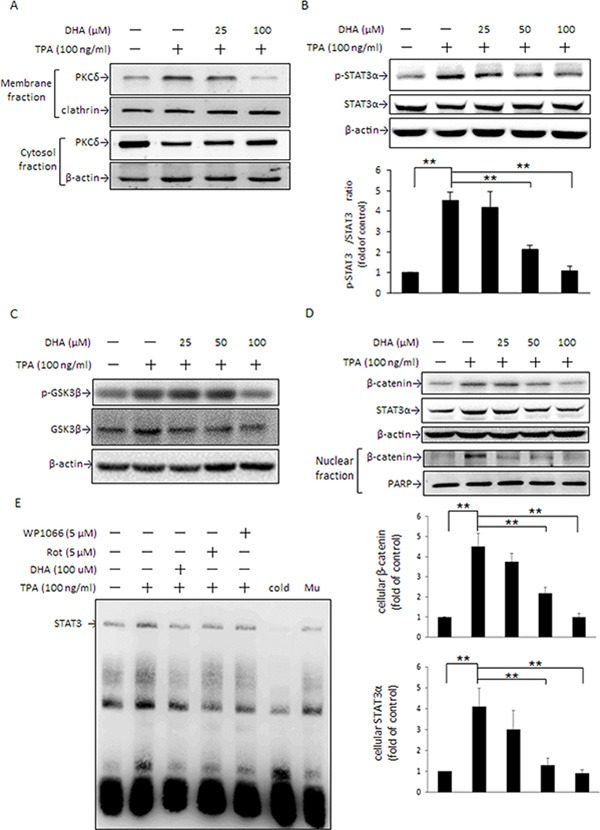 DHA inhibits TPA-induced PKCδ activation, STAT3 DNA binding activity, β-catenin, and <t>STAT3α</t> expression MCF-7 cells were pretreated with 0, 25, or 100 μM DHA for 24 h followed by incubation with 100 ng/ml of TPA for another 30 min. PKCδ in the plasma membrane and cytosol ( A ) and STAT3α ( B ) and GSK3β ( C ) phosphorylation were determined. ( D ) Total cellular β-catenin and STAT3α and nuclear β-catenin protein levels were determined in cells pretreated with various concentrations of DHA for 24 h followed by incubation with TPA for another 24 h and 4 h, respectively. ( E ) Cells were pretreated with 100 μM DHA for 24 h, 5 μM WP for 4 h, or 5 μM rottlerin (Rot) for 1 h, and then were incubated with TPA for another 6 h. Nuclear extracts (10 μg) were prepared for STAT3 nuclear protein DNA binding activity assay. To confirm the specificity of the nucleotide, 50-fold cold probe and mutant (Mu) were included in the EMSA. One representative experiment out of three independent experiments is shown. ** p