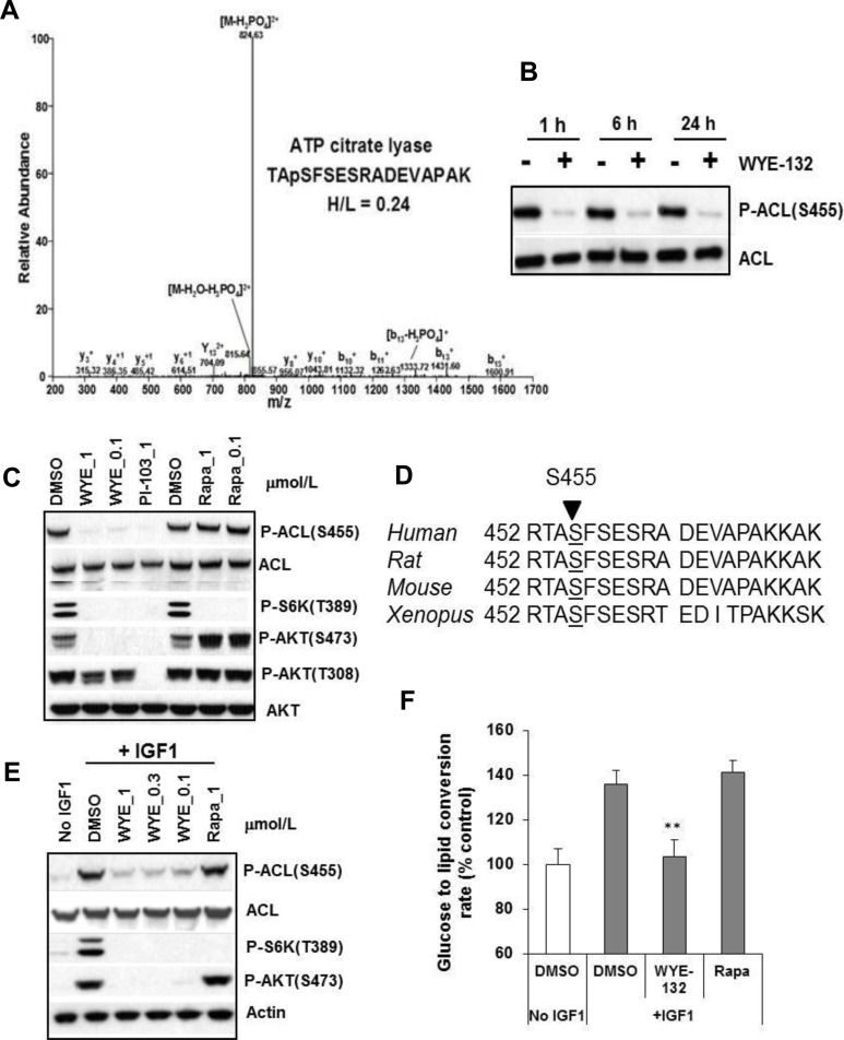 ACL is an mTOR regulated phosphoprotein A. MS/MS spectra of ACL phosphopeptide identified by SILAC. The sequence of a tryptic peptide matched to human ACL and the SILAC ratio (heavy-labeled/light-labeled (H/L)) for ACL peptide is shown for the corresponding spectra. B. and C. MDA361 cells were treated with 1 μmol/L WYE-132 for the indicated times (B) or with various inhibitors for 24 h (C) followed by immunoblotting. D. DNA sequence alignment of human, rat, mouse and xenopus ACL gene. E. HEK293 cells were serum-depleted overnight, treated with inhibitors for 30 min, stimulated with 100 ng/mL <t>IGF-1</t> followed by immunoblotting. F. HEK293 cells were grown in medium with 1% FBS overnight, treated with DMSO, 1 μmol/L WYE-132 or 1 μmol/L rapamycin for 2 h. The cells were then stimulated for 2 h with 100 ng/mL IGF-1 and 14 C-glucose, and analyzed for de novo lipid synthesis as described in Methods. Statistical analysis: **, p