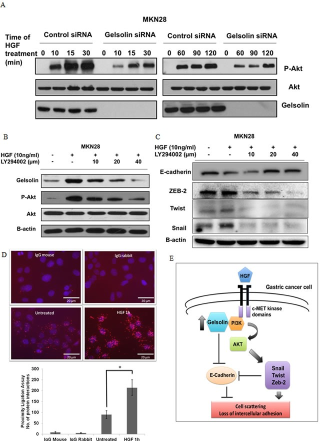 Gelsolin mediates <t>HGF-induced</t> E-cadherin downregulation via <t>PI3K-Akt</t> pathway A. Western blot of MKN28 cells transfected with ctsi or siGelsolin before treatment with HGF for 0-120 min and analyzed for gelsolin, phosphorylated Akt and Akt protein levels. B. Western blot of MKN28 cells pre-incubated with 10, 20 and 40μM LY294002 for 1h before treatment with HGF for 48h and analyzed for gelsolin, phosphorylated Akt and Akt protein levels. C. Western blot of MKN28 cells treated as in A. and analyzed for protein levels of EMT markers E-Cadherin, Zeb2, Twist and Snail. D. Proximity ligation assay of MKN28 cells treated with 10ng/ml HGF for 1h and stained with PI3K and Gelsolin antibodies. Top: Microscopy images of cells. Red spots are representative of the interactions between PI3K and Gelsolin, each red spot is equivalent to one molecular interaction. Nuclei are stained with DAPI. Images were acquired using a fluorescence microscope at x400 magnification. Scale Bar = 20μm. Bottom: Quantitative analysis of number of molecular interactions counted from 3 representative images taken at random fields from 2 experiments. Values represent mean ± SD, n = 2, * P