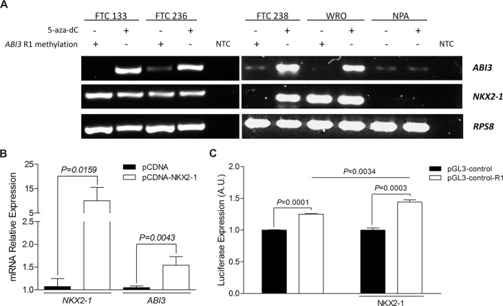 ( A ) Relationship between NKX2-1 and R1 methylation in the ABI3 expression in 5-aza-dC treated cells. ABI3 expression was restored in follicular carcinoma cell lines (FTC 238, FTC 236, FTC 133 and WRO) when NKX2-1 was present and R1 demethylated. In melanoma cells (NPA) the treatment with 5-aza-dC did not restore the expression of the ABI3 in NPA cells. ( B ) Transient transfection of NKX2-1 into NPA cells restored ABI3 expression. ( C ) Luciferase reporter assays showing the regulatory effect of R1 region of ABI3 promoter (white bars) compared to the pGL3-Control empty vector (black bars). Luciferase activity was increased after transfection of FTC 238 cells with pGL-control-R1 plasmid (white bars) as compared with cells transfected with pGL-control vector (black bars). The transcriptional activity was significantly increased when the cells were co-transfected with NKX2-1. NTC: no-template control.