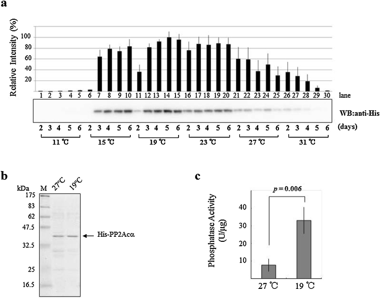 The comparison of expression, purification, and phosphatase activity of recombinant protein phosphatase 2A (PP2A). (a) His ×8 -tagged PP2Acα was expressed in High Five insect cells at a temperature range of 11–31 °C for 2–6 days using a baculovirus expression system. The lysates were resolved by sodium dodecyl sulfate-polyacrylamide gel electrophoresis (SDS-PAGE) and analyzed by Western blotting using anti-polyhistidine peroxidase conjugate. The blots are representative of three independent experiments. The quantified graph of the blots are presented as means (n = 3) ± SD. (b) After purification, 0.2 μg of each protein was subjected to 12% SDS-PAGE and visualized using Coomassie Brilliant Blue R staining. (c) The activities of the recombinant proteins were assayed against p -NPP as substrate. All assays were performed in triplicate (unit, nmol/min). The p -value of two-tailed Student's t -test is indicated.