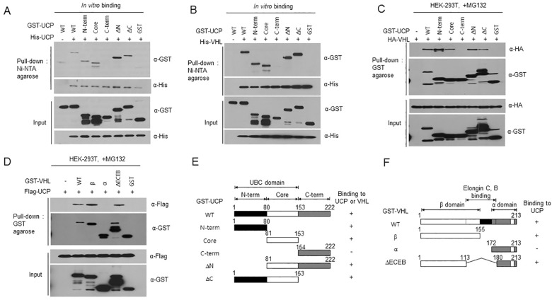 The N-terminal and Core Domains of UCP are Critical for Substrate Binding. (A) His-UCP WT (1 μg) and GST-UCP WT (1 μg) or truncated UCP mutants (UCP N-term , UCP Core , UCP C-term , UCP ∆N and UCP ∆C ) (1 μg) were incubated at 4°C for 2 h. His-UCP was then pulled down with Ni-NTA agarose at 4°C for 2 h, and the bound domains were detected by immunoblotting. (B) His-VHL (1 μg) and GST-UCP WT (1 μg) or truncated UCP mutants (1 μg) were incubated at 4°C for 2 h. His-UCP was then pulled down with Ni-NTA agarose, and the bound domains were detected by immunoblotting. (C) HA-VHL (5 μg) and GST-UCP WT (5 μg) or truncated UCP mutant plasmids (5 μg, each) were co-transfected into HEK-293T cells. GST-UCP proteins were pulled down with GST-resin, and then HA-VHL was detected by immunoblotting. (D) The plasmids Flag-UCP WT (5 μg) and GST-VHL WT or truncated VHL mutants (β, α, ∆ECEB) (5 μg, each) were co-transfected into HEK-293T cells. GST-VHL was pulled down with GST-agarose, and then interaction with UCP was detected by immunoblotting using anti-Flag antibody. (E, F) Schematic representation of UCP and pVHL. The functional domains of UCP and pVHL are delineated by three colored boxes (white, gray and black). The ability of the different domains to bind UCP and VHL is indicated; +; binding; -; no binding.