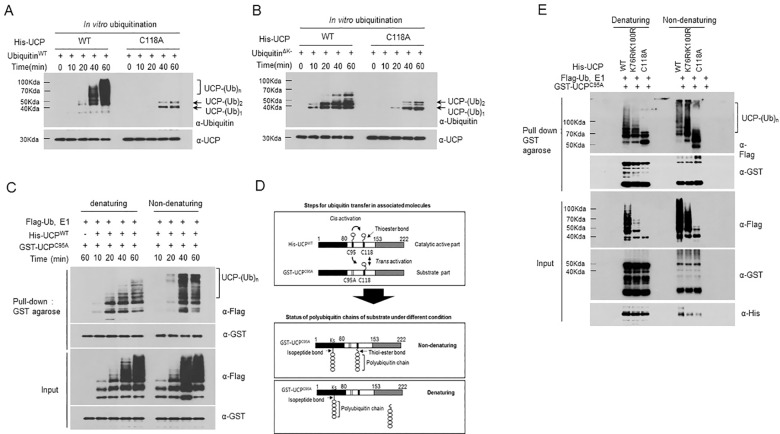 The Residue Cys118 Plays a Key Role in the Autoubiquitination of UCP. (A) An autoubiquitination assay was performed using His-UCP WT and His-UCP C118A (0.2 μg each) along with wild-type ubiquitin (Ub WT ) at various time points. Ubiquitinated forms were detected by immunoblotting using anti-ubiquitin antibody. (B) An autoubiquitination assay was performed using His-UCP WT and His-UCP C118A (0.2 μg each) along with lysine-null ubiquitin (Ub ∆K ) at various time points. Ubiquitinated forms were detected by immunoblotting using anti-ubiquitin antibody. (C) In vitro ubiquitination assay was performed using His-UCP WT (0.2 μg) and GST-UCP C95A (2 μg) at various time points. GST-UCP C95A was pulled down using GST agarose and then polyubiquitination was separated by SDS-PAGE under denaturing or non-denaturing (without β-mercaptoethanol) condition. The polyubiquitin chains were detected by anti-Flag antibody. (D) Illustration of the expected reaction steps for polyubiquitination by UCP in the trans manner and the status of polyubiquitin chains on the substrate under different conditions. (E) An in vitro ubiquitination assay was performed using wild-type UCP (His-UCP WT ), double-mutant UCP with K78R and K100R (His-UCP K76R/K100R ), UCP-C118A mutant (His-UCP C118A ) (0.2 μg each) and GST-UCP C95A (2 μg) at 37°C for 1 h in reaction buffer. After the reaction, GST-UCP C95A was pulled down with GST agarose, and polyubiquitination was analyzed by immunoblotting under denaturing (+β-mercaptoethanol) or non-denaturing (-β-mercaptoethanol) conditions using anti-Flag antibody.