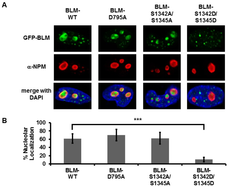 S1342 and S1345 determine nucleolar localization of BLM. ( A ) Cellular localization of BLM phospho-dead (BLM-S1342A/S1345A) and phospho-mimetic (BLM-S1342D/S1345D) mutants. GM08505 BLM −/− cells were plated on sterile coverslips and transfected with the indicated GFP-tagged BLM plasmids, BLM-WT , BLM-D795A (helicase dead), BLM-S1342A/S1345A and BLM-S1342D/S1345D , using Lipofectamine 2000. Cells were fixed with 4% paraformaldehyde 24-h post-transfection, permeabilized with 0.25% Triton-X-100 and blocked with 10% normal goat serum. Nucleoli were stained with anti-nucleophosmin (α-NPM) and Alexa-Fluor fluorescent secondary antibodies and coverslips were mounted with VectaShield plus DAPI mounting medium. ( B ) Quantification of nucleolar localization. Nucleolar localization for 100 cells from 4 to 5 blinded experiments was expressed as percent nucleolar localization. Error bars depict standard deviation. Results were compared to BLM-WT using a Student's t -test (*** p