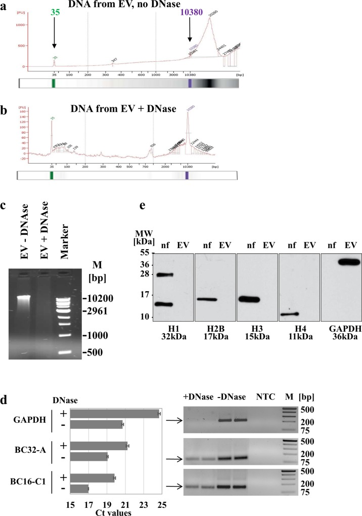 Detection of DNA in extracellular vesicles. EV were isolated from supernatants of hMSC by ultracentrifugation, divided into two parts and DNA prepared from EV without DNase treatment (a) or after DNase treatment (b). For workflow see S4 Fig . Automatically set standards of 35 (green) and 10380 bp (pink) in the Bioanalyzer indicate the lower and upper size markers. Shown are the Bioanalyzer profiles and respective gels for a representative example. (c) Ten μl from a total of 40 μl DNA sample isolated from EV without (EV no DNase) or with (EV + DNase) DNase treatment were separated on a 0.66% agarose gel. (d) To analyze the localization, DNA was isolated from unmanipulated EV (-DNase) or EV after DNase treatment (+DNase) and examined for genomic signals in quantitative PCR using primer pairs for GAPDH, BC32-A and BD16-C1 (both randomly chosen from human genome sequences). Shown are the mean Ct values ± SD of two experiments carried out in duplicates (left graph). Products of one experiment in duplicates were visualized on 1.8% agarose gels (right blots). NTC: no template control. (e) To further elucidate the composition of EV in regard to their DNA cargo, 10 μg of protein lysate were separated on 15% SDS-PAGE and analyzed for histones H1, H2B, H3, H4 and GAPDH. As positive control, a nuclear fraction (nf) of human H1299 cells was used.