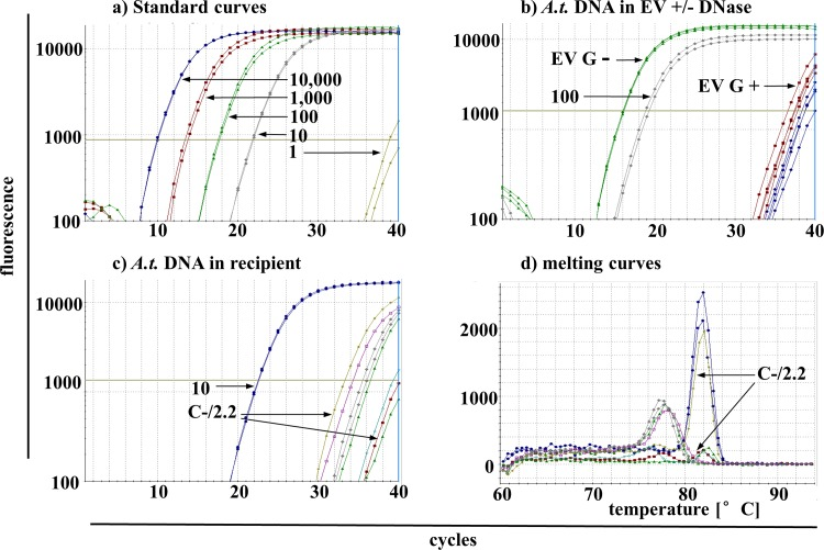 Detection of A . t .-sequences in recipient cells using SYBR Green-based qPCR. (a) Standard dilutions of A . t .-DNA in duplicates with 10.000–10 copies/PCR reaction show a linear dependency whereas 1 copy/PCR was located below the detection limit. (b) Three to four replicates of DNA isolations from EV without DNase treatment (G(-); EV from harvest G without DNAse treatment) showed high abundant A . t .-sequences with Ct = 16 whereas those with DNase treatment (G(+)) showed much lower A . t .-DNA amounts with Ct near the detection limit. As comparison, positive standard with 100 copies/PCR was plotted. (c) Several replicates of the sample C(-)16 (EV from harvest C without DNase treatment, PCR run No. 16 carried out with 1μg DNA per reaction) were detected with Ct of ≥ 33. As comparison, positive standard with 10 copies/PCR was plotted. (d) Melting temperatures (Tm) of samples in (c) show the replicates with one high and several lower peaks with the correct Tm. The blue curves correspond to the positive standard of 10 copies/PCR reaction. Two exemplary arrows for sample C(-)16 in (c) and (d) point to lime and red colored probes with high and low Tm peaks, respectively.